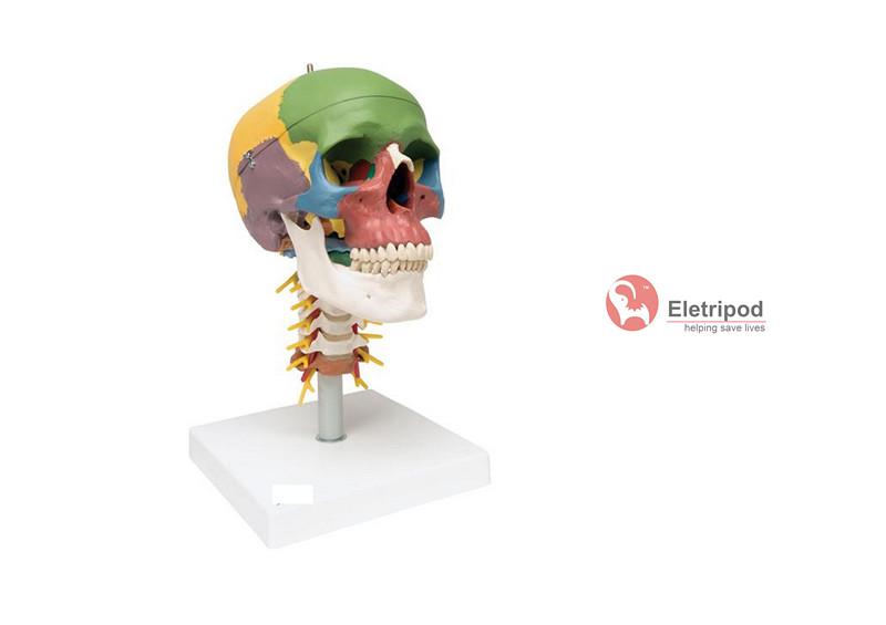 成人头颅骨模型,该模型可分解成2个部件, 显示脑颅骨和面颅骨,以及颈椎(1~7)、胸椎(1~2)、斜角肌、颈神经和臂丛等解剖结构。模型头骨(颅骨)左半边肌肉着色(肌肉在颅骨的起点和止点用不同颜色表示),右半边骨性着色(每块颅骨用不同颜色表示)。