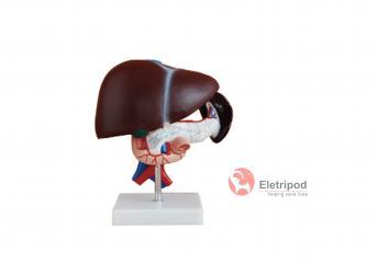 肝胰十二指肠模型 et/a10311